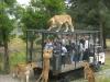 800px-orana_wildlife_park_feeding_lions