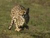 cheetah_running_b_57128b3dd4_0